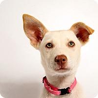 Adopt A Pet :: Eleanor HuskyShep - St. Louis, MO