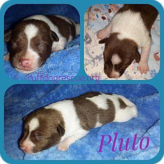 Chihuahua/Corgi Mix Puppy for adoption in Milton, Georgia - Pluto