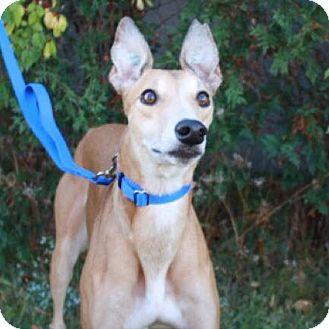 Greyhound Mix Dog for adoption in Aurora, Indiana - June Bug