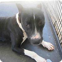 Bull Terrier Mix Dog for adoption in Newnan City, Georgia - Noel