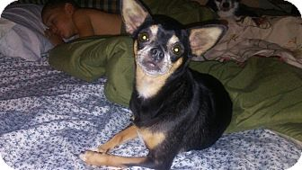 Chihuahua Mix Dog for adoption in Summerville, South Carolina - Timberlyn