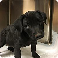Adopt A Pet :: Jackie - New York, NY