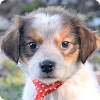 Adopt A Pet :: Jed - Denver, CO