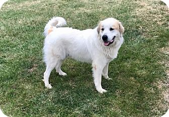 Great Pyrenees Dog for adoption in Tulsa, Oklahoma - Murray