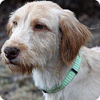 Adopt A Pet :: Flynn - Valley Park, MO