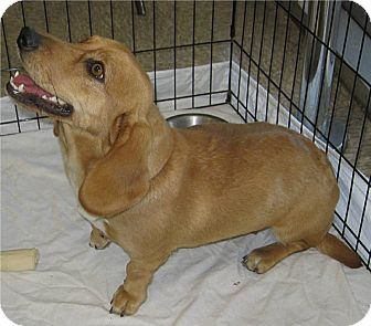 Basset Hound/Hound (Unknown Type) Mix Dog for adoption in Phoenix, Arizona - Cammie