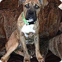 Adopt A Pet :: Bubbles - Des Peres, MO