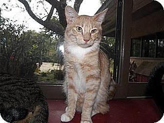 Domestic Shorthair Cat for adoption in Los Angeles, California - Oliver