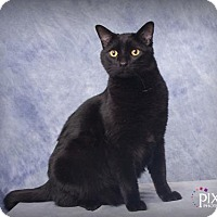 Domestic Shorthair Cat for adoption in Omaha, Nebraska - OY