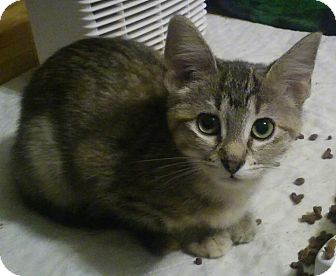 Domestic Shorthair Cat for adoption in Owatonna, Minnesota - Arikka