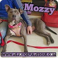 Adopt A Pet :: Mozzy - Mt. Clemens, MI