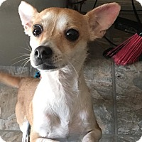 Chihuahua Dog for adoption in Whiting, Indiana - Nina