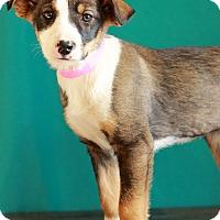 Adopt A Pet :: Mozart - Waldorf, MD