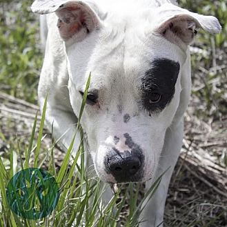 American Bulldog Mix Dog for adoption in Cincinnati, Ohio - Bambina