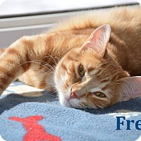 Adopt A Pet :: Fred - Purr Master! - Huntsville, ON
