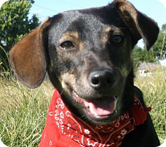 Dachshund/Whippet Mix Puppy for adoption in New Hartford, Connecticut - Susie - super sweet baby girl!