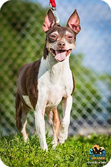 Terrier (Unknown Type, Small)/Chihuahua Mix Dog for adoption in Evansville, Indiana - Bruce