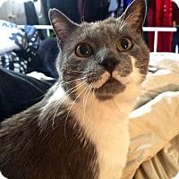 Adopt A Pet :: Felionel Richie - Toronto, ON