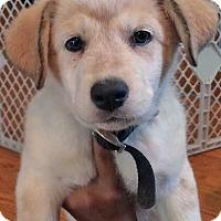 Adopt A Pet :: Cinnamon in VA / pup - pending - Beacon, NY