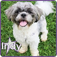 Adopt A Pet :: Indy - Excelsior, MN