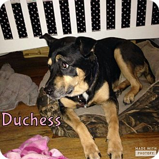 Rottweiler/German Shepherd Dog Mix Dog for adoption in Rowlett, Texas - Duchess