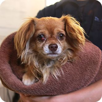 Chihuahua Mix Dog for adoption in Marina del Rey, California - Eli