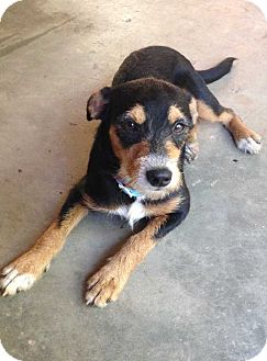 Shepherd (Unknown Type)/Terrier (Unknown Type, Medium) Mix Puppy for adoption in E. Greenwhich, Rhode Island - Molly