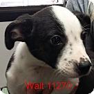 Adopt A Pet :: Walt