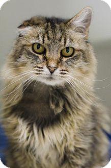 Domestic Mediumhair Cat for adoption in Rohnert Park, California - Mrs. Snuggles-worth