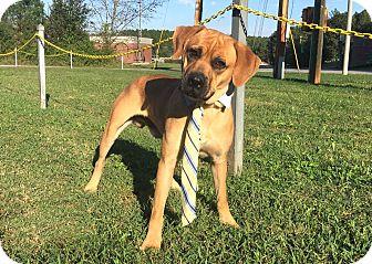 Boxer/Labrador Retriever Mix Dog for adoption in Lexington, North Carolina - LINCOLN