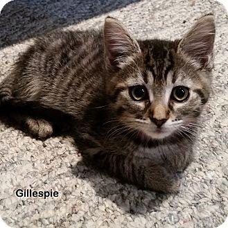 Domestic Shorthair Kitten for adoption in Portland, Oregon - Gillespie