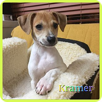 Chihuahua/Miniature Pinscher Mix Puppy for adoption in Hollywood, Florida - Kramer