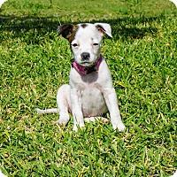 Adopt A Pet :: Roxy - Aubrey, TX