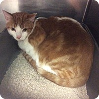 Domestic Shorthair Cat for adoption in Janesville, Wisconsin - Didymus