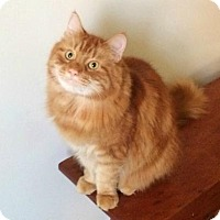 Maine Coon Cat for adoption in Westwood, New Jersey - Robbie