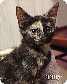 Domestic Shorthair Kitten for adoption in Mason, Michigan - Tilly