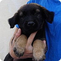 Adopt A Pet :: Scarlet - Oviedo, FL