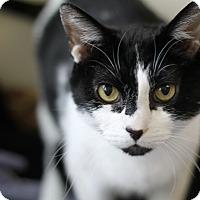 Adopt A Pet :: Velcro - Chicago, IL