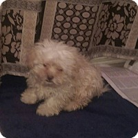 Adopt A Pet :: Moppet-adoption pending! - Antioch, IL