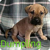 Adopt A Pet :: Dumpling - Garden City, MI