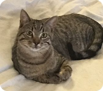 Domestic Shorthair Cat for adoption in Garland, Texas - Franklin (Frankie, boy)