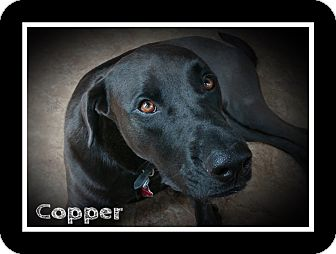 Labrador Retriever Mix Dog for adoption in Dallas, Texas - Copper