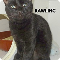 Domestic Shorthair Cat for adoption in Lapeer, Michigan - Rawling-shiny!