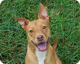 American Staffordshire Terrier/Pit Bull Terrier Mix Dog for adoption in Staunton, Virginia - June
