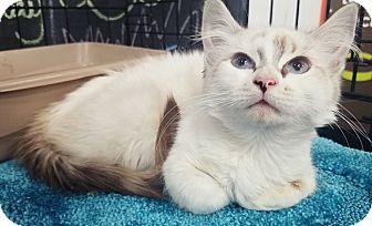 Ragdoll Kitten for adoption in Cerritos, California - Crystal