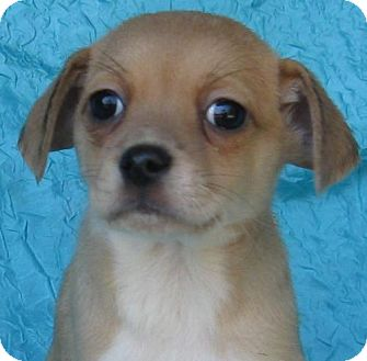 Chihuahua Mix Puppy for adoption in Cuba, New York - Snug-As-A-Bug Watkins