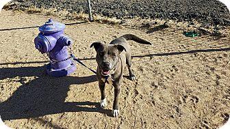 Pit Bull Terrier Mix Dog for adoption in California City, California - Alexus