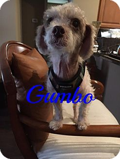 Poodle (Miniature) Dog for adoption in Maitland, Florida - Gumbo
