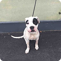 American Bulldog Mix Dog for adoption in Beverly Hills, California - A1664766 is at South Central