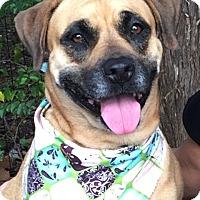 Adopt A Pet :: Maya - Germantown, TN